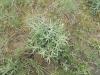 sziki őszirózsa