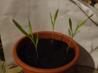 Kukoricák - egy hónaposak
