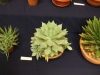 kaktusz-09