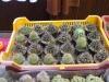 kaktusz-28