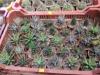 kaktusz-29
