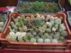 kaktusz-31