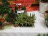 kaktusz-34